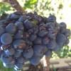 Uva colpita da grandine
