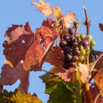 uva-autunno